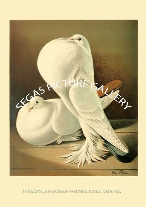 Fine art print of the Farbenschwanziger Pommerscher Kropfer  by the artist Christian Forster (1884-1886)